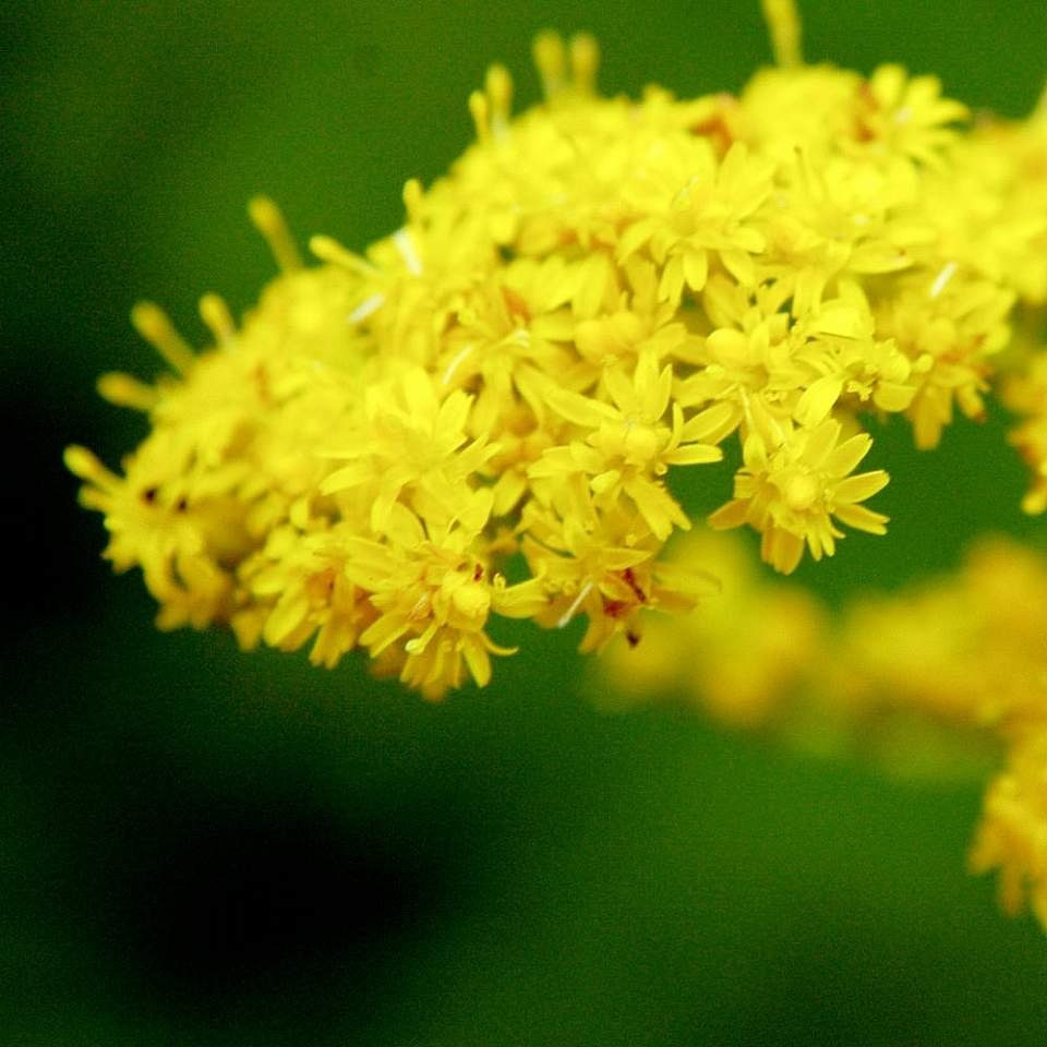 Plants flowers canada goldenrod flckr Flickr