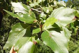 Trees Balsam Poplar