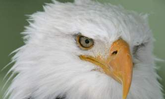 Alaska zoo Bald Eagle