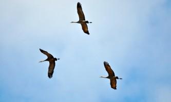 Alaska Nome Cranes Robin Johnson Robin Johnson Inlines for Nome