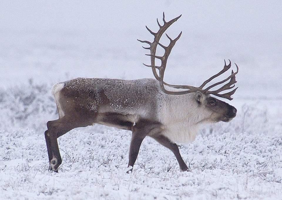 Alaska caribou viewing Caribou Dalton HWY Scott Stevens