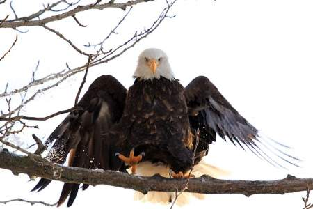 Ketchikan Eagle Viewing: 30 Eagle's Nests You Can See