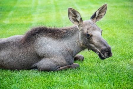 The Best Moose Viewing Spots in Anchorage