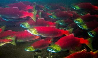 Anchorage salmon viewing Sockeye Salmon