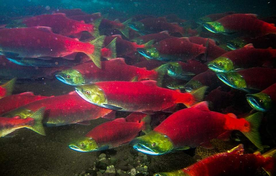 Marvel at the sight of thousands of fish schooling in gigantic tanks by visiting one of the salmon hatcheries.