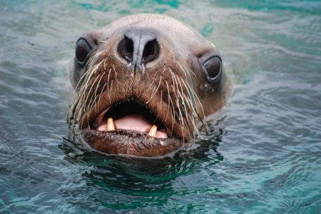 Alaska Steller Sea Lion Haulouts