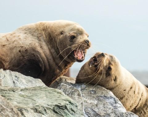 See several sea lion haulouts in Prince William Sound