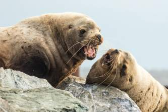 Sealions flckr Two steller sea lions singing in harmony