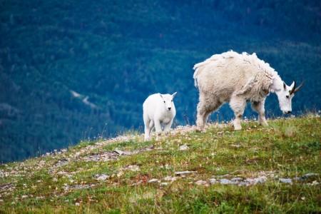 Alaska Sheep & Mt. Goat Viewing Spots