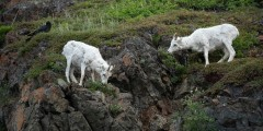 Dall Sheep Viewing in Atigun Pass