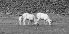 Callisto Cliffs Goats in Kenai Fjords National Park
