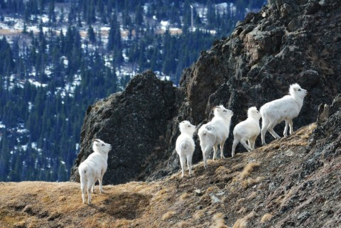 Dall sheep29814809286 3f57c0a70f o