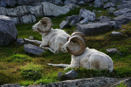 Dall sheep37435592681 6a8f2f7991 k