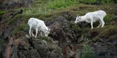 Dall Sheep Viewing in Atigun Pass
