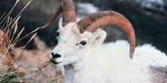 Sheep & Mt. Goat Viewing at Tern Lake