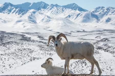 Dall Sheep & Goat Viewing at Bird Point Wayside (Penguin Ridge)