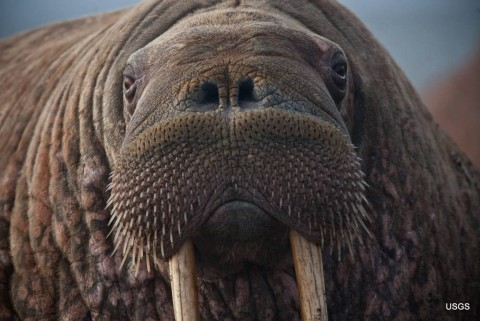 Close up of a female walrus resting after entering the haulout