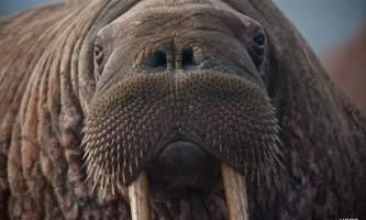 Alaska walrus haulouts Walrus 02
