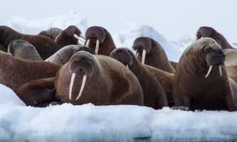 Airport Photo Contest Jeffrey Kashatok Walrus Haulout Jeffrey Kashatokalaska walrus haulouts