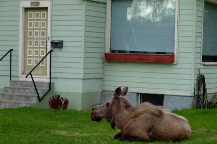 2004 05 15 Moose On Lawn 01 mwmu38