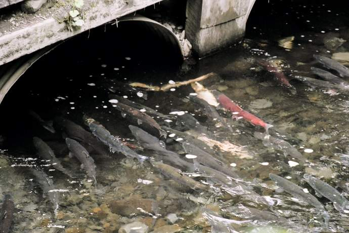 Bear Creek Weir 01 mwmu4o