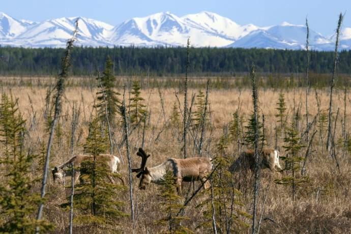 Best caribou viewing Kenai River Flats karen jones pdk9zm