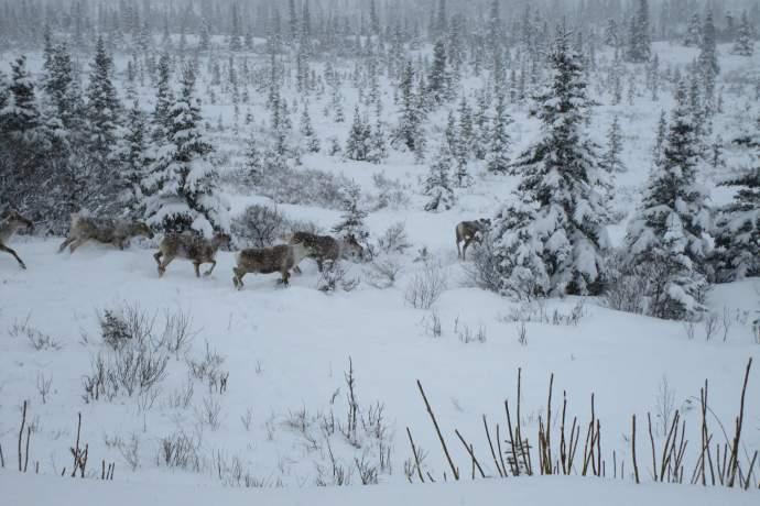 Best caribou viewing Steese Caribou Robin Frerichs pdkbhx