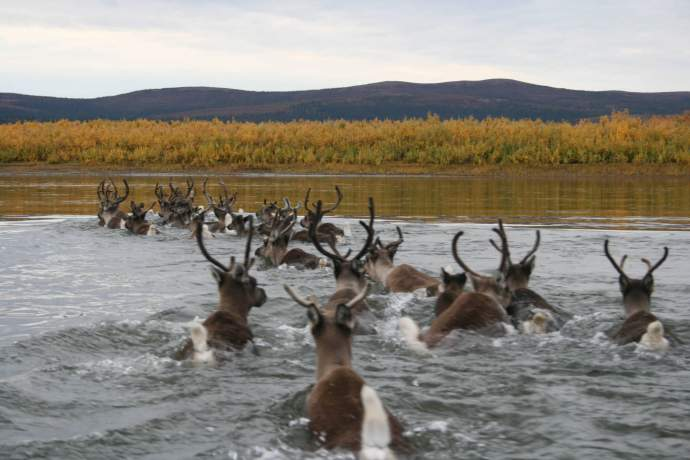 Best caribou viewing kobuk river caribou jacqueltn crace murray pdkbyo