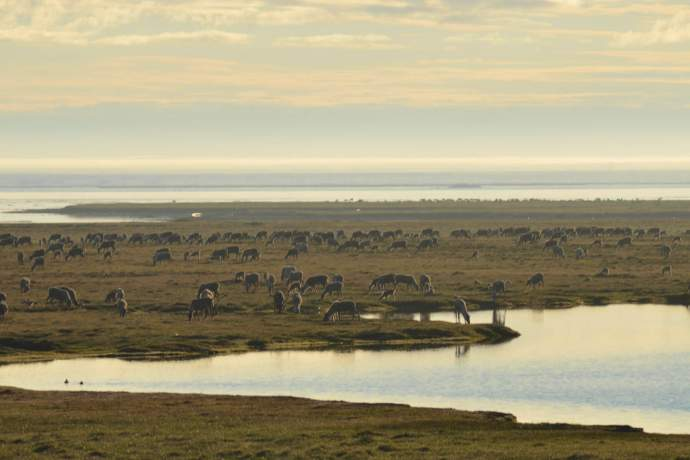 Best caribou viewing kuparuk caribou wayne renfrom pdkbi3