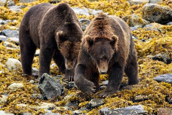 alaska-bear-viewing-lodges