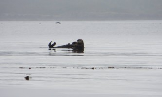 Shuyak island sea otter shuyak island state park o19y0h