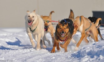 Black spruce dog sledding dsc 0753 o164o4