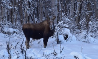 Snowmobiling moose p5hyb0