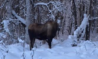 Snowmobiling moose1 p5hyb6