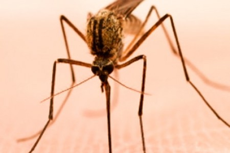 Mosquitoes: Pest Or Boon?
