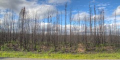 Burnt Birch Forest