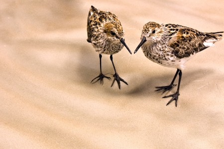 62. Alaska's Shorebirds
