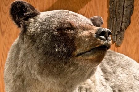 69. Glacier Bear