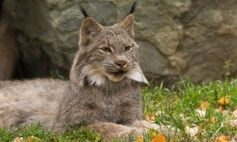 Alaska zoo 2016 john gomes Canada Lynx2 o6xlbz