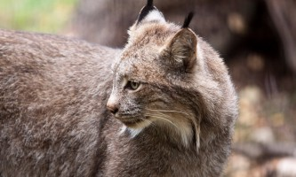 Alaska zoo 2016 john gomes Canada Lynx o6xlc5