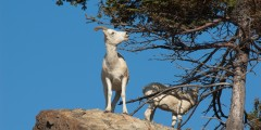 Dall Sheep Viewing at Sheep Mountain, Glenn Highway