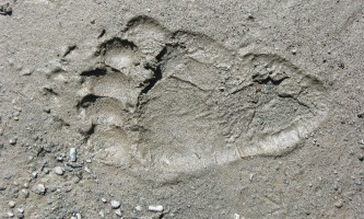 Brown_bear_rear_paw_print-rsz-copyright_Kip_Minnery-ma82j7