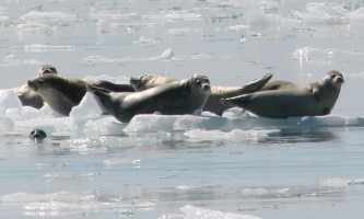 2018-45-Harbor_Seals_Kenai_Fjords_National_Park-pdvvh4
