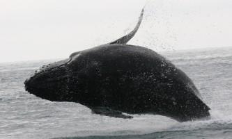 Alaska-Coast-To-Denali-Journey-41-Whale_Breaching-pdvti7