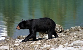 Ultimate-alaska-adventure-46-Black_Bear_in_Kenai_Fjords_National_Park-pdvun3
