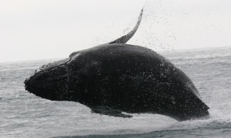 Ultimate-alaska-adventure-41-Whale_Breaching-pdvumz