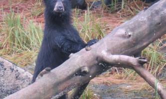 North-pacific-expeditions-North_Pacific_Expeditions-Hidden_Bay_bear_on_log_staring_at_camera-pi967k