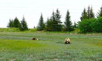 Summer solstice adventure alaska adventure company brown bear day trip