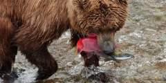 Alaska Bear Tours