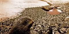 26. Pribilof Seals and Birds